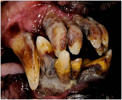 Stage 4 periodontal disease in a dog